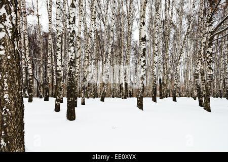 the edge of snowy birch grove in winter - Stock Photo