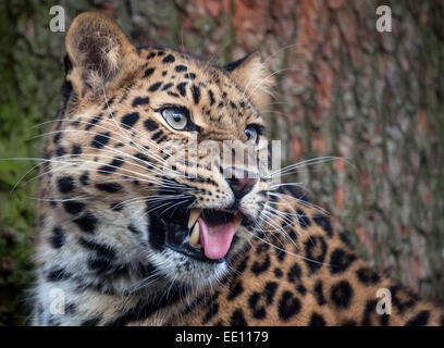 Female Amur leopard snarling - Stock Photo