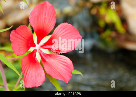 Scarlet Rose Mallow flower - Stock Photo