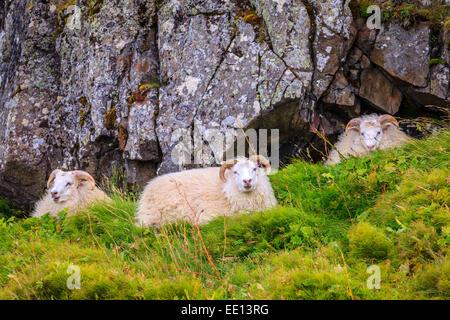 Three free range sheep in Northwestern Iceland - Stock Photo