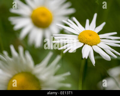 Ox-eye Daisies or Common Daisies. Wild Daisies, oxeye daisies growing in a small opening in the woods. - Stock Photo
