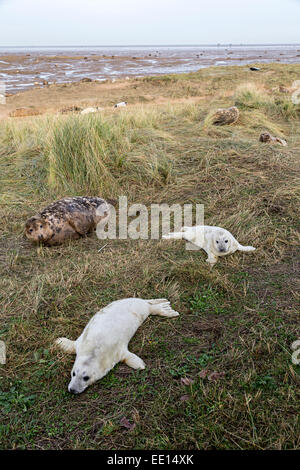 Grey seals adult and cubs Halichoerus grypus, Donna Nook national nature reserve, Lincolnshire, England, UK - Stock Photo