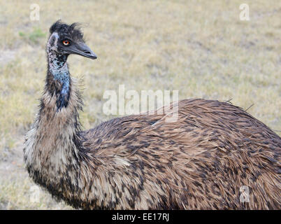 Emu isolated in rural setting - Stock Photo