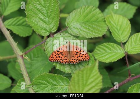 High Brown Fritillary (Argynnis adippe) adult, resting on bramble leaf, Hautes-Pyrenees, Midi-Pyrenees, France, - Stock Photo