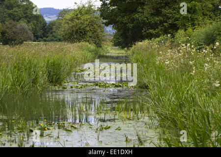 Yellow Waterlily (Nuphar lutea) flowering, growing in disused canal habitat, Montgomery Canal, near Berriew, Powys, - Stock Photo