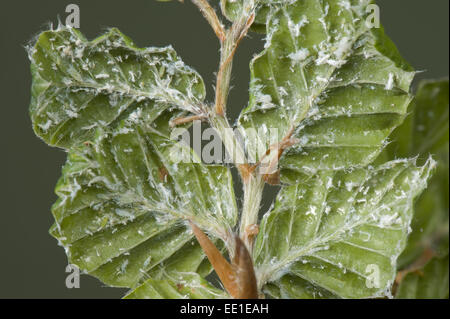 Woolly beech aphid, Phyllaphis fagi, on the underside of young beech hedge leaves - Stock Photo
