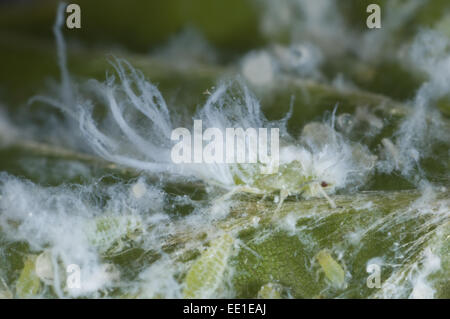 Woolly Beech Aphid, Phyllaphis fagi, colony on underside of young beech hedge leaves - Stock Photo