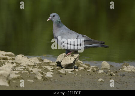 Stock Dove (Columba oenas) adult, about to drink, standing at edge of water, Norfolk, England, July - Stock Photo
