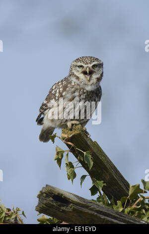 Little Owl (Athene noctua) adult male, calling, perched on roof of old barn, Norfolk, England, March - Stock Photo