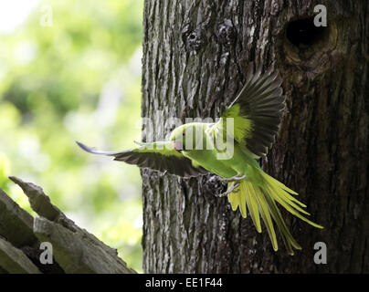 Rose-ringed Parakeet (Psittacula krameri) introduced species, adult female, in flight, leaving nesthole in tree - Stock Photo