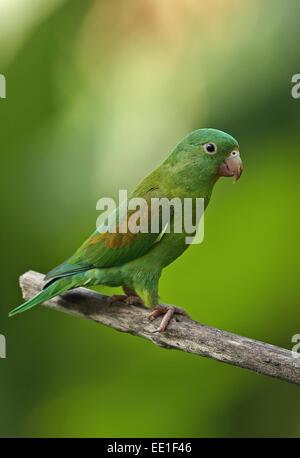 Orange-chinned Parakeet (Brotogeris jugularis jugularis) adult, perched on branch, Panama, November - Stock Photo