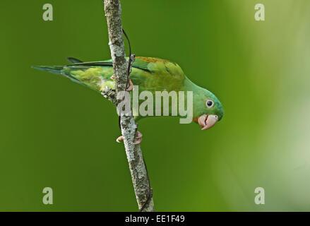 Orange-chinned Parakeet (Brotogeris jugularis jugularis) adult, climbing down branch, Panama, November - Stock Photo
