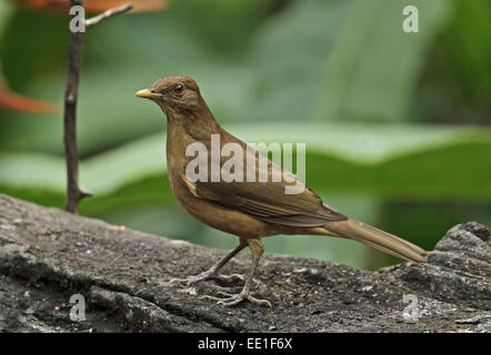 Clay-coloured Robin (Turdus grayi casius) adult, standing on log, Canopy Lodge, El Valle, Panama, October - Stock Photo