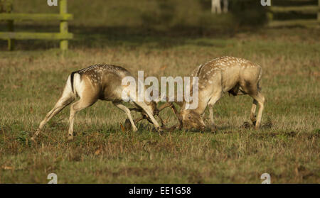 Fallow Deer (Dama dama) two bucks, fighting, during rutting season, Leicestershire, England, October - Stock Photo