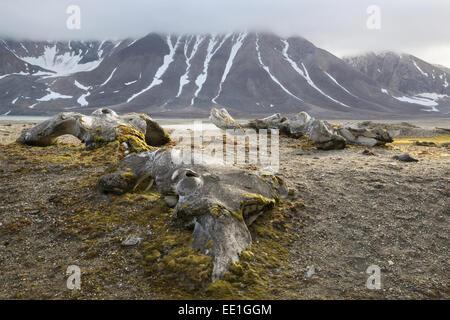 Bowhead Whale (Balaena mysticetus) bones near shore in fjord, Hornsund, Spitsbergen, Svalbard, August - Stock Photo