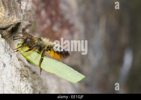 Willoughby's Leafcutter Bee (Megachile willughbiella) adult female, in flight, arriving at nesthole in wall with - Stock Photo