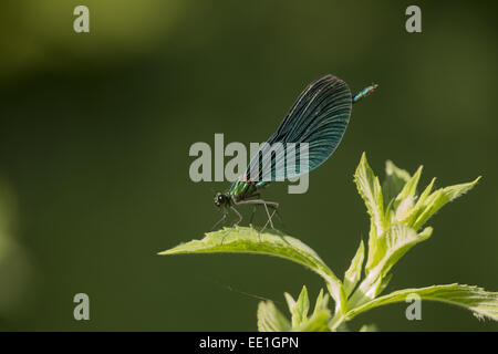 Beautiful Demoiselle (Calopteryx virgo) adult male, resting on leaf, Bulgaria, July - Stock Photo