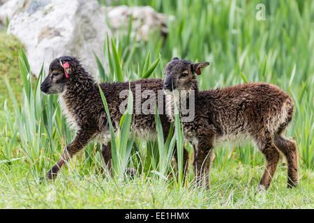 Sheep called the Soay roaming the stone remains of the evacuated village on Hirta, St. Kilda Archipelago, Scotland, - Stock Photo