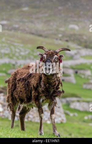 Sheep called the Soay roaming the stone remains of the evacuated village on Hirta, St. Kilda Archipelago, Scotland, - Stock Photo