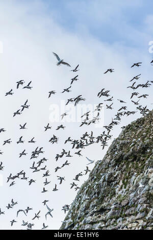 Steep cliffs filled with nesting birds on the south side of Bjornoya, Bear Island, Svalbard, Arctic, Norway, Scandinavia, - Stock Photo