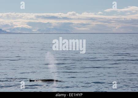 Adult fin whale (Balaenoptera physalus) surfacing near Hornsund, Spitsbergen, Svalbard, Arctic, Norway, Scandinavia, - Stock Photo