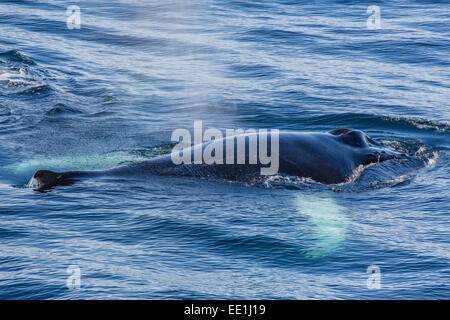 Adult humpback whale (Megaptera novaeangliae) feeding off the west coast of Spitsbergen, Svalbard, Arctic, Norway, - Stock Photo