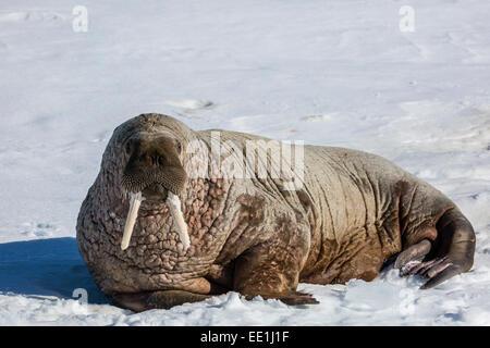 Adult bull Atlantic walrus (Odobenus rosmarus rosmarus) hauled out on ice in Storfjorden, Svalbard, Arctic, Norway, - Stock Photo