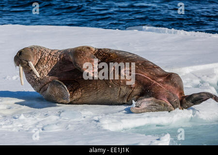 Adult bull Atlantic walrus (Odobenus rosmarus rosmarus) rolling on its back on ice in Storfjorden, Svalbard, Arctic, - Stock Photo