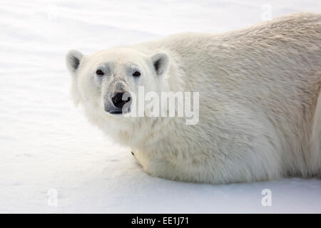 Adult polar bear (Ursus maritimus) on first year sea ice in Olga Strait, near Edgeoya, Svalbard, Arctic, Norway, - Stock Photo