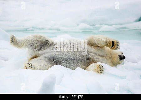 Adult polar bear (Ursus maritimus) stretching on first year sea ice in Olga Strait, near Edgeoya, Svalbard, Arctic, - Stock Photo