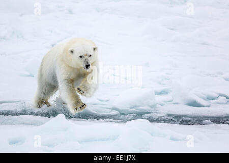 Adult polar bear (Ursus maritimus) leaping across open lead in first year sea ice in Olga Strait, near Edgeoya, - Stock Photo