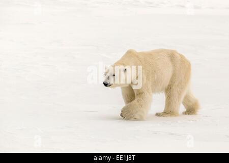 Adult polar bear (Ursus maritimus) on first year sea ice near Cape Fanshawe, Spitsbergen, Svalbard, Arctic, Norway, - Stock Photo
