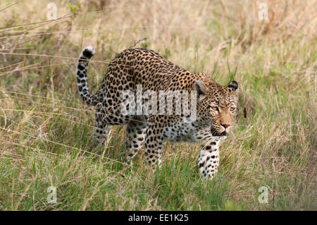 Leopard (Panthera pardus), Khwai Concession Area, Okavango Delta, Botswana, Africa - Stock Photo