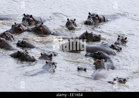 Aerial view of hippopotamuses (Hippopotamus amphibius), Okavango Delta, Botswana, Africa - Stock Photo