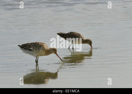 Two black-tailed godwits (Limosa limosa) foraging in a freshwater lake, Gloucestershire, England, United Kingdom, - Stock Photo