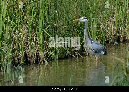 Grey heron (Ardea cinerea) hunting in a marshland pool, Gloucestershire, England, United Kingdom, Europe - Stock Photo