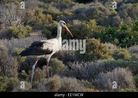 White stork (Ciconia ciconia) foraging for insects in maquis vegetation, Crete, Greece, Europe - Stock Photo
