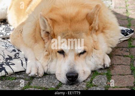 Bored Finnish Spitz Hound Dog dozing on the ground outside. Germany, Europe - Stock Photo