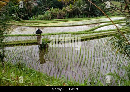 Rice field located around the Kaki Gunung temple in the center of the island near the town of Bangli. Ubud. Bali. - Stock Photo