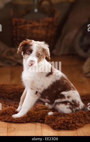 Australian Shepherd, puppy, 12 weeks, red-merle Australian Shepherd, Welpe, 12 Wochen, red-merle