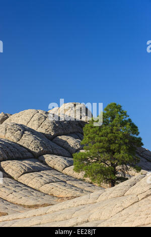 Lonesome tree at the White Pocket deep in the Vermilion Cliffs National Monument, Arizona, USA - Stock Photo