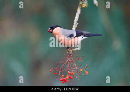 Bullfinch, Pyrrhula pyrrhula, single male on red berries, Warwickshire, January 2015 - Stock Photo
