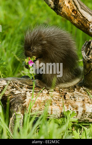 Young Common Porcupine (Erethizon dorsatum) sitting on a log, munching on a purple wildflower in a meadow. - Stock Photo
