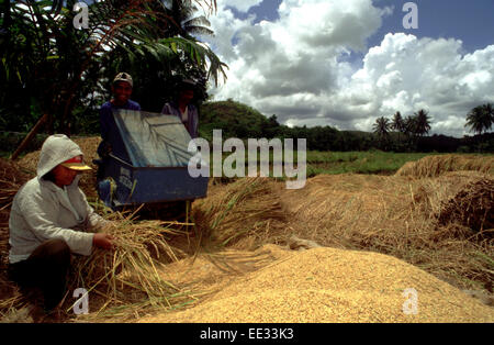Process of separating rice grains. Bohol. The Visayas. Philippines. Traditional harvesting and threshing of rice, - Stock Photo