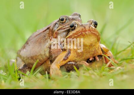 (European) common (brown) frog [Rana temporaria], Grassfrosch, Germany - Stock Photo
