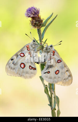mountain Apollo [Parnassius apollo] apollofalter germany - Stock Photo