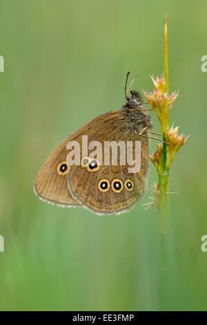 Brauner Waldvogel ringlet (butterfly) [Aphantopus hyperantus], germany - Stock Photo