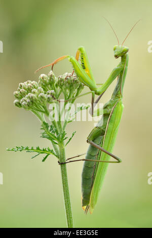 European mantis [Mantis religiosa], Gottesanbeterin - Stock Photo