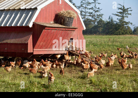 Free Range chickens, portable housing, free range,  'Gallus domesticus'. - Stock Photo