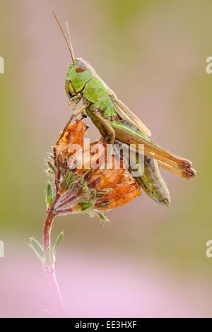 field grasshopper [Chorthippus brunneus] - Stock Photo